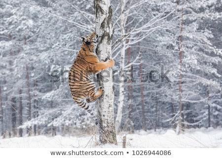 Tiger (Panthera tigris) and snow Stock photo © ajlber