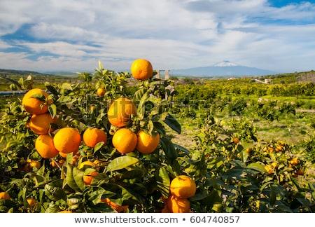 Sicilian orange. Stock photo © lidante