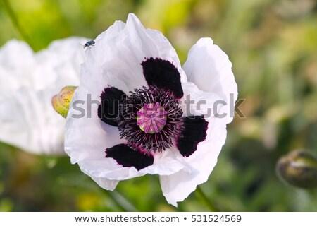 haşhaş · çiçek · bahar · bahçe · yeşil - stok fotoğraf © haraldmuc