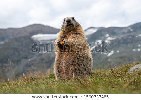 Marmot Stock photo © Antonio-S