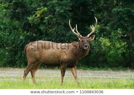 Sambar Deer Stock photo © faabi