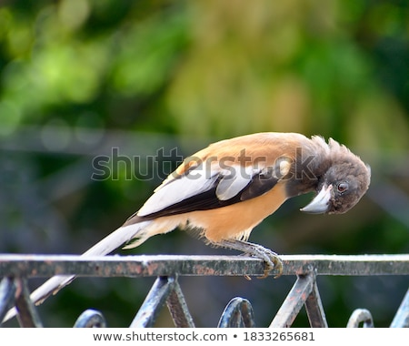 Portrait of an Indian Treepie Stock photo © faabi