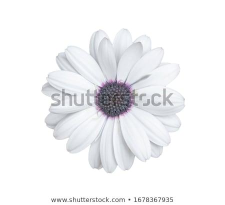 白 · アフリカ · デイジーチェーン · 花 · 自然 · 庭園 - ストックフォト © rabel