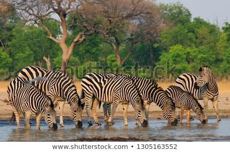 Zèbres troupeau eau potable sécher paysage eau Photo stock © JFJacobsz