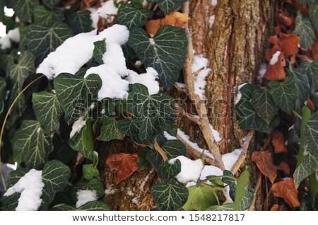 Klimop sneeuw bladeren voorjaar winter koud Stockfoto © manfredxy