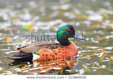 Kestane yüzme göl park Avustralya kuş Stok fotoğraf © dirkr