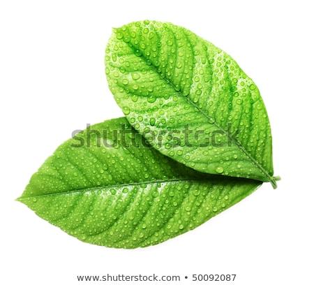 Iki yeşil yaprak çiy damla yalıtılmış beyaz Stok fotoğraf © orensila