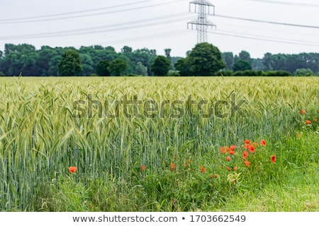 abstract composition of barley field in sunset stock photo © stevanovicigor