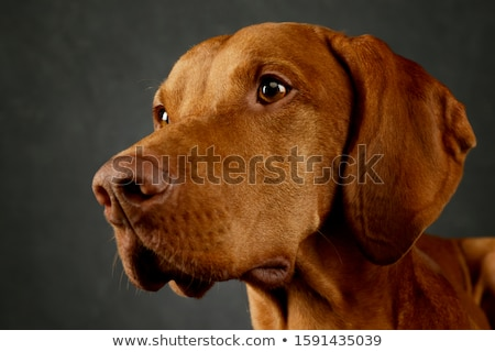 hungarian vizsla looking in a dark studio stock photo © vauvau