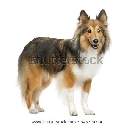 Stok fotoğraf: Köpek · çoban · köpeği · yalıtılmış · beyaz · arka · plan · komik