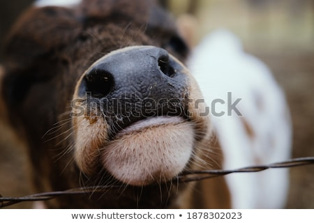 Cow muzzle close-up with shallow depth of field Stock photo © Phantom1311