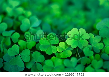 Foto stock: Background Green Leaves Of Clover
