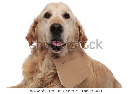 Cute sans-abri golden retriever haletant papier Photo stock © feedough