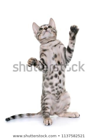 silver bengal kitten Stock photo © cynoclub