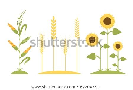 подсолнухи пшеницы продукции растений землю Сток-фото © robuart