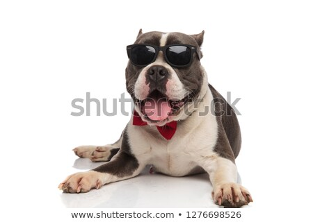 happy american bully wearing sunglasses and bowtie pants Stock photo © feedough