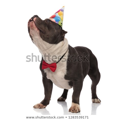 classy american bully wearing birthday hat looks up to side stock photo © feedough