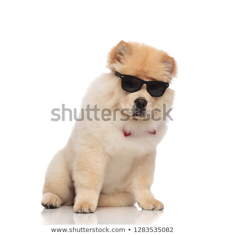 gentleman chow chow wearing eyeglasses sits and looks down Stock photo © feedough