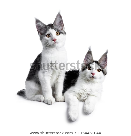 Two blue tabby high white harlequin maine coon cat kittens Stock photo © CatchyImages