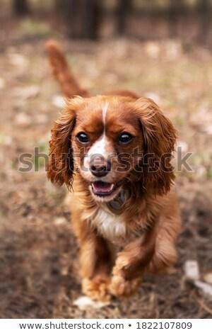 Sinistro piccolo cane cartoon illustrazione guardando Foto d'archivio © cthoman