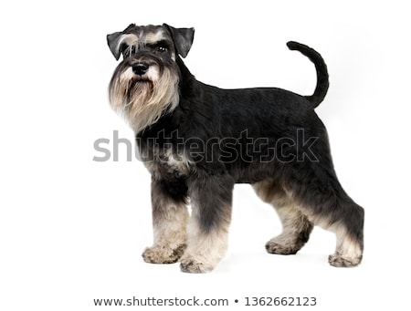 Studio shot of a cute Miniature Schnauzer Stock photo © vauvau