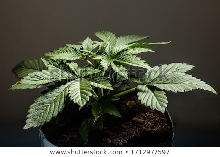 Two leaves of green cannabis. Stock photo © artjazz