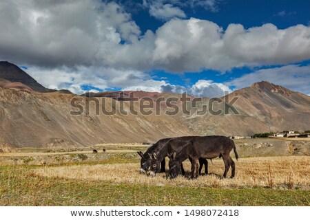 Donkeys grazing in Himalayas Stock photo © dmitry_rukhlenko
