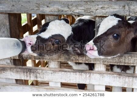 ミルク 夏 牛 ファーム 小さな ストックフォト © goce