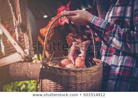 Nő gyűlés tojások tyúk ház póló Stock fotó © photography33
