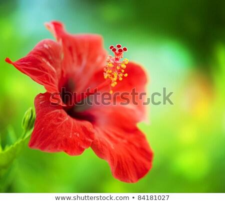 красный · гибискуса · Extreme · завода · тропические - Сток-фото © kaycee
