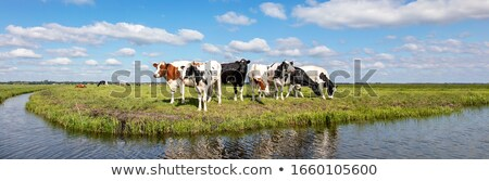 Cows in Dutch flat landscape Stock photo © ivonnewierink