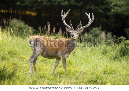 Red deer ( Cervus elaphus) Stock photo © chris2766