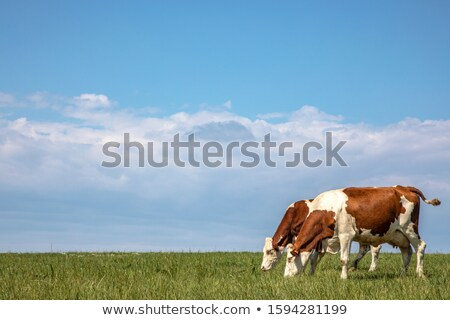 cows with blue sky stock photo © tepic