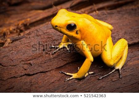yellow frog Stock photo © ssuaphoto