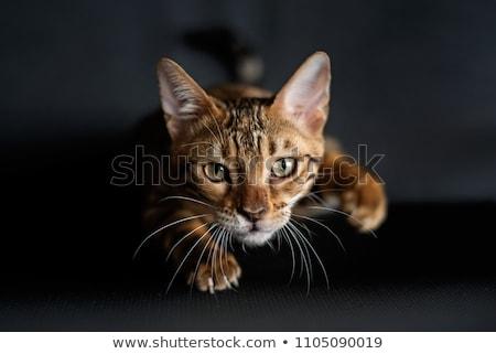 macska · egér · kép · játékos · fehér · harap - stock fotó © willeecole