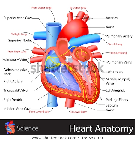 heart and circulatory system stock photo © radivoje