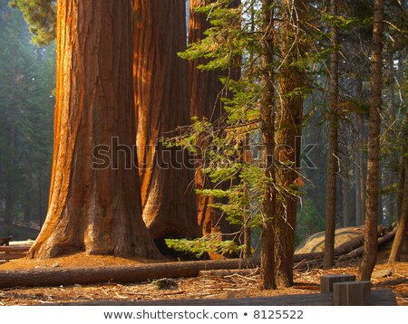 a stand of california redwood sequoia pine in sunlight stock photo © wolterk