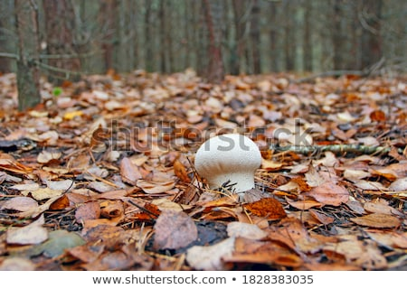 Puffball mushroom among fall leaves and grass stock photo © sarahdoow