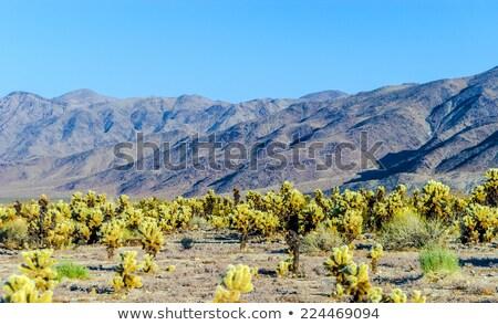 beautiful cholla cactus garden in joshua treer national park in stock photo © meinzahn