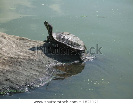 Tortues roches Central Park New York nord lac Photo stock © marco_rubino