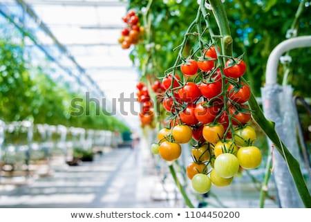 Broeikas binnenkant plastic gedekt tuinbouw gebouw Stockfoto © designsstock