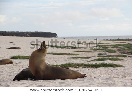 sealions relaxing at the beach stock photo © meinzahn