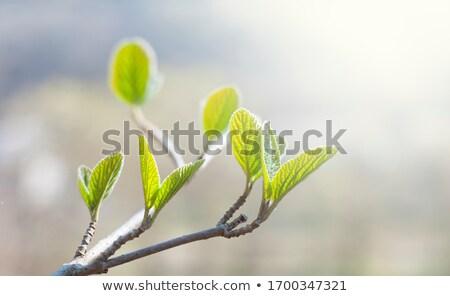 Verde natureza luz fundo árvores verão Foto stock © Romas_ph