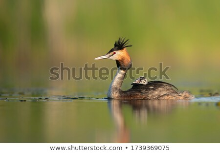 crested grebe podiceps cristatus duck and baby stock photo © elenarts