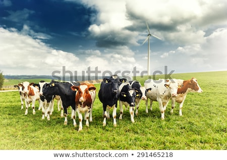 Stock photo: Grazing cattle and wind turbines
