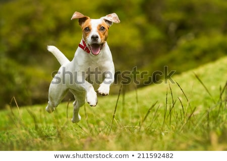 Chiens courir deux herbe anglais amusement Photo stock © willeecole