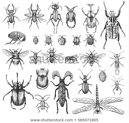 Jahrgang Tattoo Käfer exotischen illustriert Stil Stock foto © Soleil