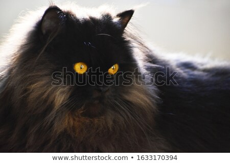élégant · à · poil · long · noir · chatte · chat - photo stock © chrisga