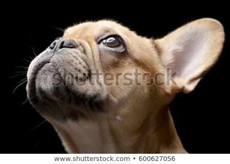 Foto d'archivio: Francese · bulldog · buio · colore · bianco · isolato