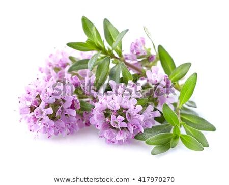 Thyme with flower Stock photo © Klinker